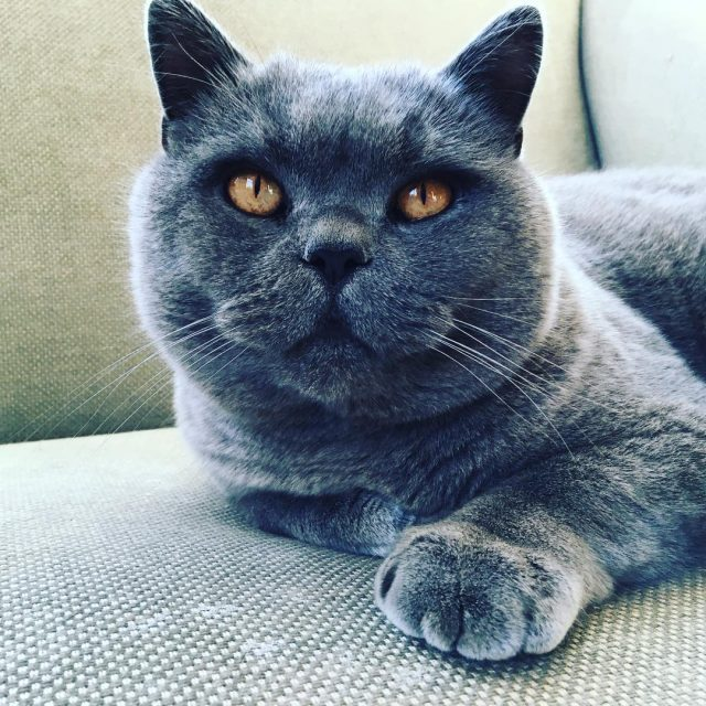 Pickle Puss Edgar! britishblue catlove velvetfurrrrrr