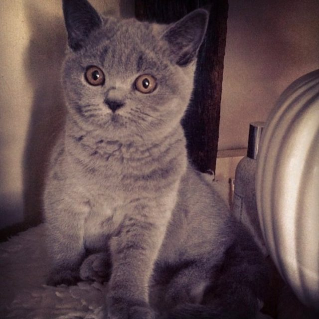 Dora Kitten  We loved you so tbt britishblurshorthair